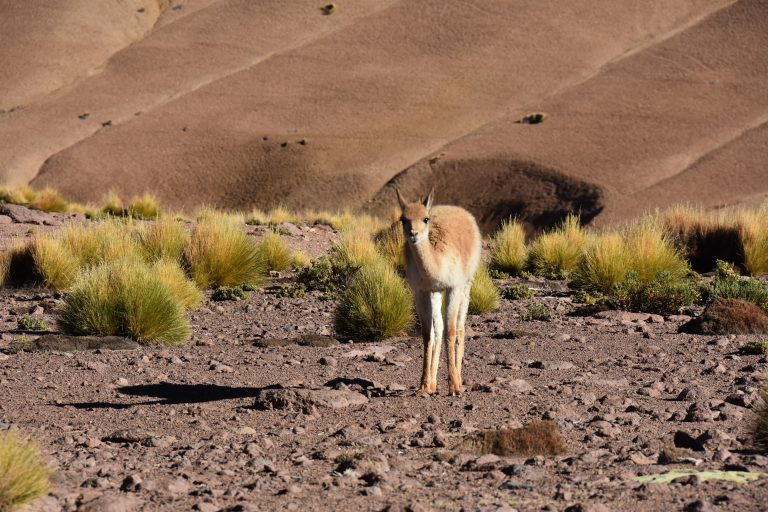 Guanaco in the landscape of Chile